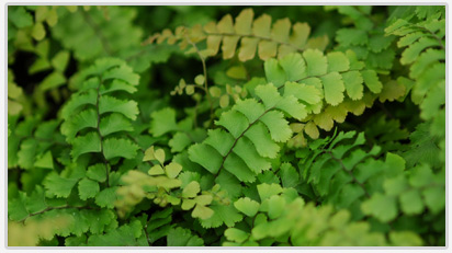 Ferns for Growers and Retail Stores